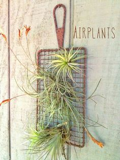 Air plants are plants that use their roots to attach themselves to rocks, trees, shrubs, and to the ground. They take all their water and nutrients through their leaves. Plus, they are very easy to take care of, so they are perfect in any home.