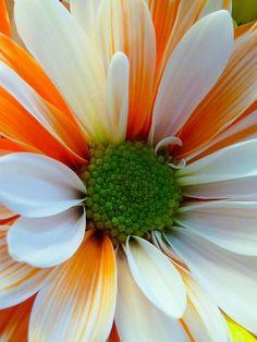 Looks like cream sherbert in a daisy