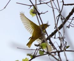 Yellow Warbler at the Magee Marsh - Biggest Week in American Birding. May 2013.
