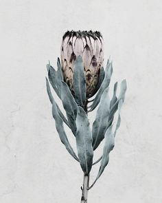 Available for sale from WILLAS contemporary, Vee Speers, Botanica 60 × 48 cm Protea Art, Protea Flower, Floral Illustrations, Botanical Illustration, Ikebana, Vee Speers, Fine Art Photography, Nature Photography, Flower Photography