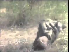 aap op varken