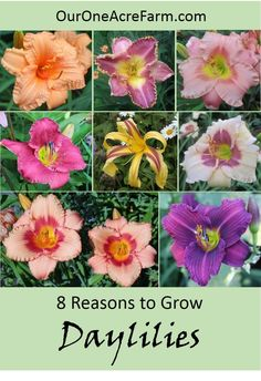 Beauty, vigor, edibility, medicinal uses, permaculture possibilities, butterfly appeal, breeding opportunities, and use in selling/trading are all great reasons to grow daylilies, the perfect perennial. Read the details on this interesting and often misunderstood plant.