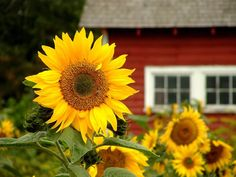 Summer sunny face...   sunflowers sprout up in my garden by themselves thanks to the birds at my winter feeder.