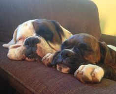 Boxer Breed, Boxer Puppies, Boxer And Baby, Boxer Love, Animals And Pets, Cute Animals, Sleeping Animals, Bully Dog, Cute Creatures