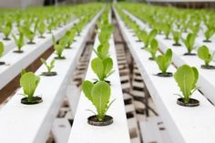 Organic Gardening With Hydroponics
