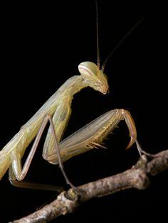 234 Best Bugs Mantids Praying Mantis Walking Sticks Orchid