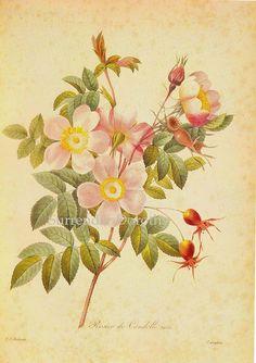Rosa reversa Candolle Redouté Botanical Illustration by SurrendrDorothy, via Flickr