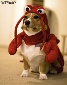 I'm dying... Tipsy has this same lobster costume