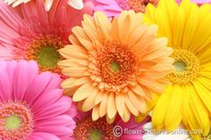 Gerber Daisies are pretty growing in your garden.  Be sure to wire the stems for arrangements