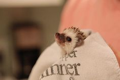 tiny baby hedgehog