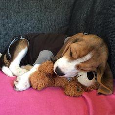 "124 Likes, 4 Comments - NaijaTheBeagle (@naijathebeagle) on Instagram: ""I have to wear a body for 1 week because i've got a puppy rash • • • • #beagle #beaglepup…"""