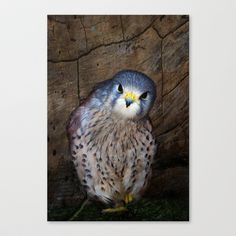 Falco tinnunculus or the common Kestrel Stretched Canvas by F Photography and Digital Art - $85.00