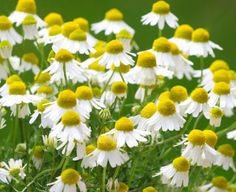 Chamomile Extract - Chamomile extract comes from the tiny daisy-like blossoms of Chamomile plants. It is widely used in personal care products to help reduce redness and irritation.Chamomile extract's benefits also make it a good anti-inflammatory, exfoliating, and moisturizing agent. It has been found to linger on the skin even when used in rinse-off products such as shampoos, conditioners and shower gels. http://essentialsbycatalina.com/