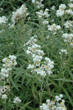 Pearly Everlasting (Anaphalis margaritacea) at Shelmerdine Garden Center