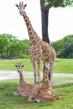 Family of giraffes