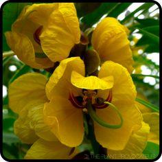 |Senna didymobotrya in bloom|
