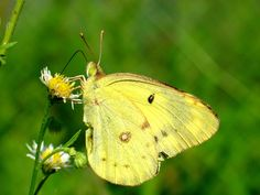Yellow Butterfly | Yellow Butterfly - Animal Crossing Wiki