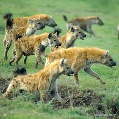 """""""Spotted #hyenas are often found in very large, very fluid groups. The smallest spotted #hyena clans are about the same size as a big lion pride or big…"""""""