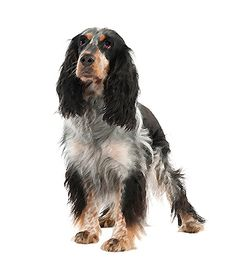 The English Springer is a friendly, active #dog that needs plenty of exercise. Click here for more info