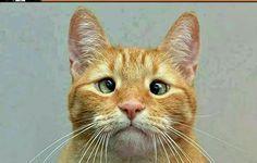 Conheçam Jarbes , O único gato vesgo que foi rejeitado, Até que alguém decidiu adotar o felino e postar fotos dele na internet , Nem precisa dizer que o gato virou sensação na Net.