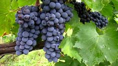 Sangiovese grapes from Italy   Image source: Youtube.com