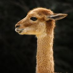 lama at Jardin des Plantes, Paris, France Llama Pictures, Animal Pictures, Alpacas, Cute Baby Animals, Farm Animals, Llama Face, Llama Alpaca, Lovely Creatures, Pet Cage