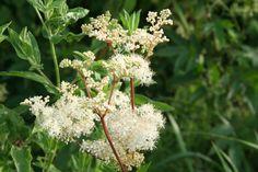 Mädesüß war eines der drei heiligen Kräuter der Druiden. Im Mittelalter war es als Streukraut, wegen seinem intensiven Geruch beliebt. Im 19. Jahrhundert gewann man die Salicylsäure aus der Pflanze…