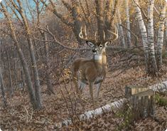 Great Eight Whitetail Deer