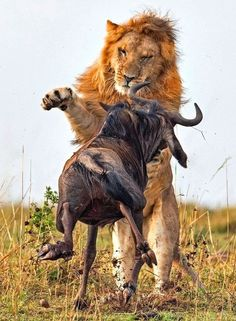 Dramatic Photos Of Lion Hunt A Wildebeest Dramatische Fotos der Löwenjagd Ein Gnu – wilde Natur Beautiful Cats, Animals Beautiful, Lion Hunting, Animals And Pets, Cute Animals, Lion Photography, Animal Action, Animal Attack, Lion Pictures