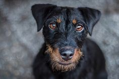 Terriers, Dog Breeds, Pets, Animals, German Wirehaired Pointer Rescue, Hunting Dogs, Animales, Animaux, Terrier