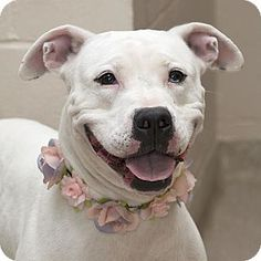Marney - URGENT - Miami County Animal Shelter in Troy, Ohio - ADOPT OR FOSTER - Adult Female Pit Bull Terrier Mix - Marney was picked up while running loose late at night. She is pretty mild mannered. Marney is a little shy until she gets to know you and then she is the sweetest girl ever.