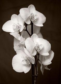 Orchid (Phalaenopsis Aphrodite)