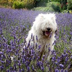 Lavender is calming for dogs. Grow lavender to reduce your dog's barking.  More on barking& dog behaviour at www.petproblemsolved.com.au