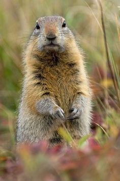Arctic ground squirrel - they spend more than half their life in hibernation. 100s of Wildlife Treasures.     http://www.pinterest.com/njestates1/wildlife-treasures/    Thanks To http://www.njestates.net/real-estate/nj/listings