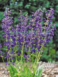"""Salvia Twilight Serenade 2' tall, 16"""" spread"""
