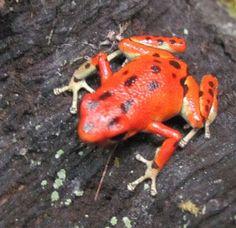 Female bastimentos pumilio dart frog. Photo by Rachel Jensen.
