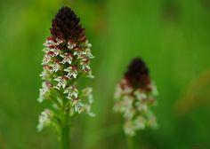 lOrchis brulé (Neotinea ustulata) Pelouse des Montaillers - montfort | Flickr - Photo Sharing!