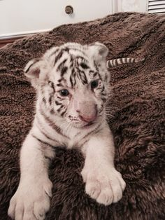 Betty the White Tiger  #cuteness # baby white tiger