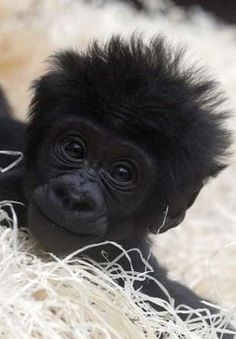 Gorilla baby! By all accounts, this is pretty much what I looked like when I was…