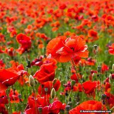 Red Poppy Seeds, Papaver rhoeas, Corn Poppy, Flanders Poppy, Shirley Poppy