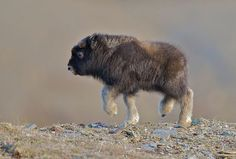 thefrogman:    When they are all grown up, muskox have a strong odor and look like a shag carpet fell on some horns. This is why I think scientists need to figure out how to make permanent baby animals.             (via TumbleOn)