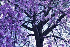 Ipê - árvore do Brasil ~ Jacarandá Mimoso