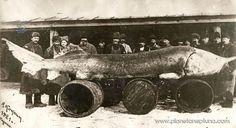 A record-breaking Great Sturgeon caught in Kazan, Russia in 1921 a