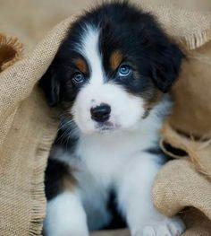 Sweet baby Australian  shepherd