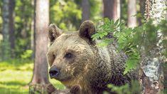 medve Archives | Magyar Idők Brown Bear, Animals, Animales, Animaux, Animal Memes, Animal, Animais, Dieren