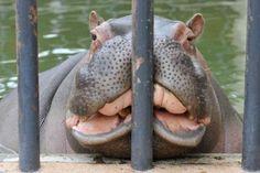 hippopotamus..<3 So cute but funny:P