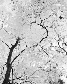 ink-black branches snaking through the white of snow and sky
