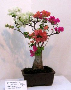 grafting of diff.colors of bougainvillea on one stem....