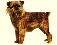 Грифон – это причудливая и забавная бельгийская собака. Отзывы владельцев грифонов схожи в том, что эти преданные, крепко стоящие на ногах и очень контактные питомцы, прекрасно ладят со всеми домочадцами и нетребовательны в уходе.