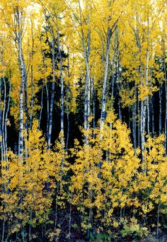 ~~White Birch in Alaska | autumn in Wasilla, Alaska by LASKANWLF~~